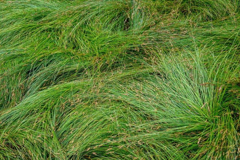 Fundo da natureza de gramas verdes do carriço no teste padrão e na textura foto de stock royalty free