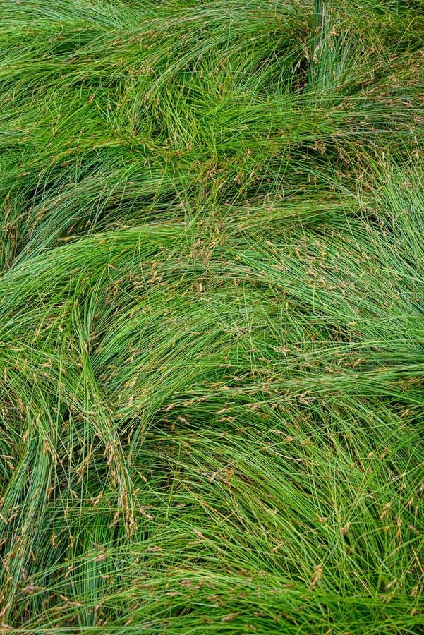 Fundo da natureza de gramas verdes do carriço no teste padrão e na textura fotos de stock