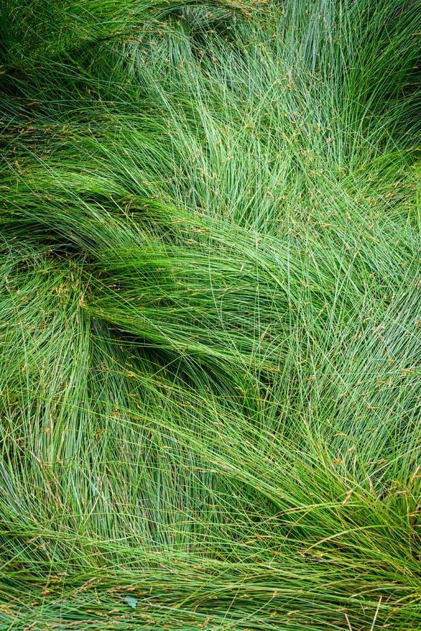 Fundo da natureza de gramas verdes do carriço no teste padrão e na textura imagens de stock