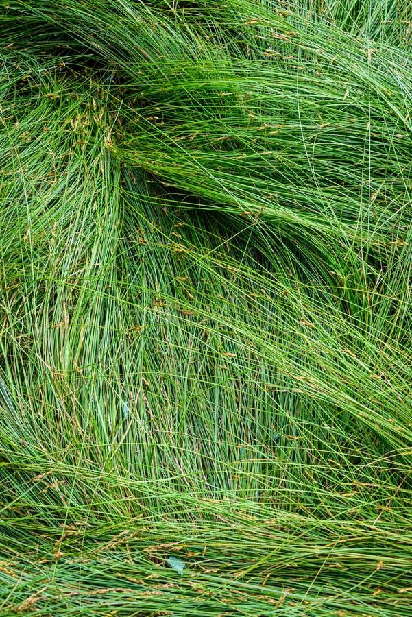 Fundo da natureza de gramas verdes do carriço no teste padrão e na textura fotografia de stock