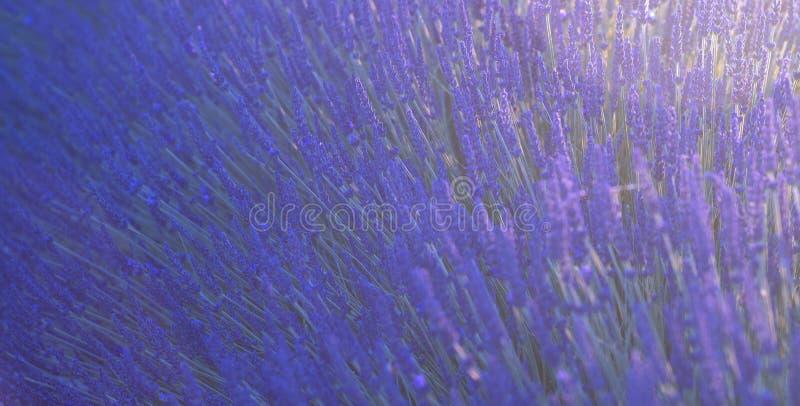 Fundo da natureza do campo da alfazema em Sount de França, Valensole, Provence imagens de stock