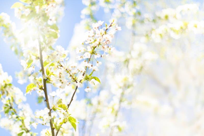 Fundo da natureza da mola com a flor da maçã da mola Fundo abstrato da mola com efeito obscuro imagens de stock