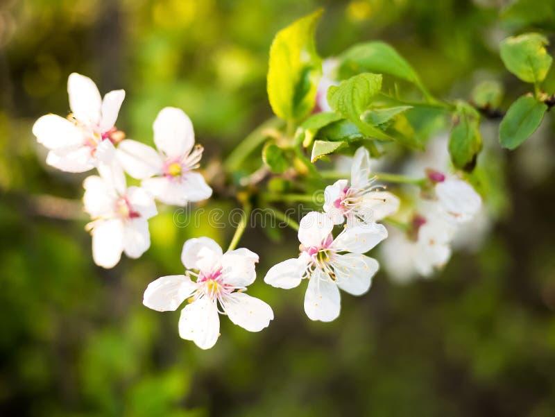 Fundo da natureza da mola com refeição matinal de florescência da árvore foto de stock royalty free