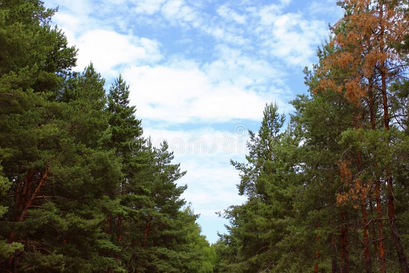 Fundo da natureza Pinheiros verdes e céu azul Natureza, curso, conceito da ecologia fotos de stock royalty free