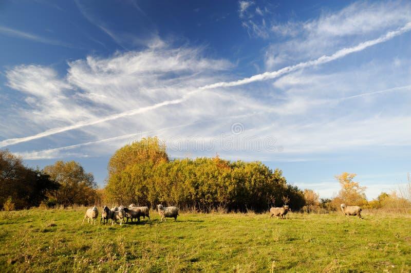 Fundo da paisagem do país Carneiros ar livre que pastam no prado fotos de stock royalty free