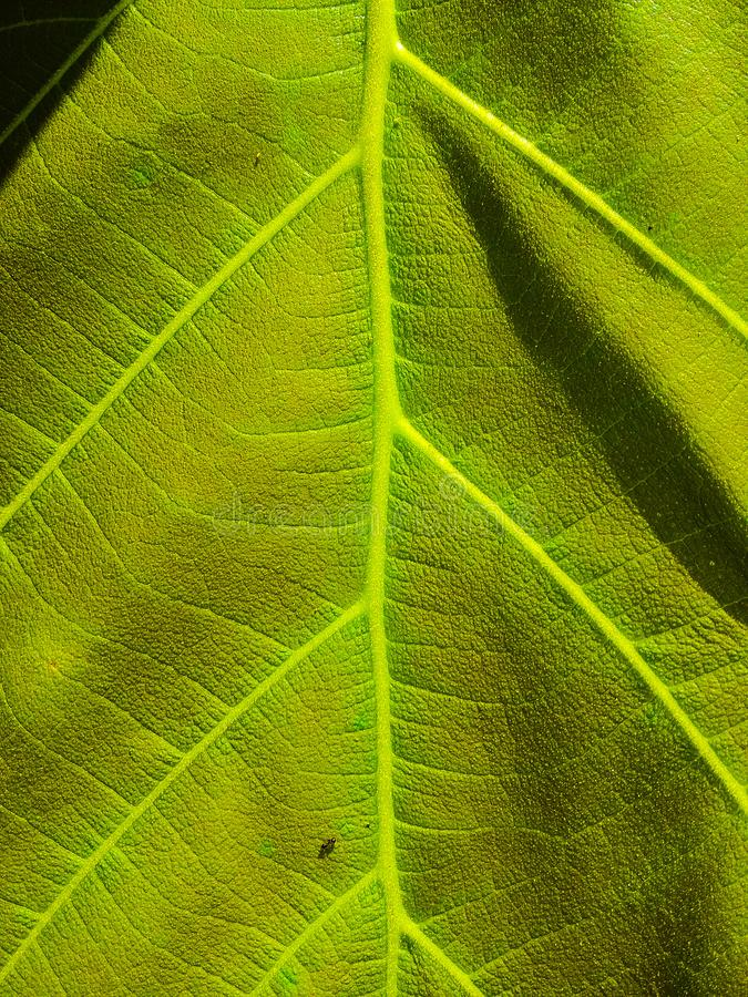 Fundo da parede da cor verde da textura das folhas foto de stock