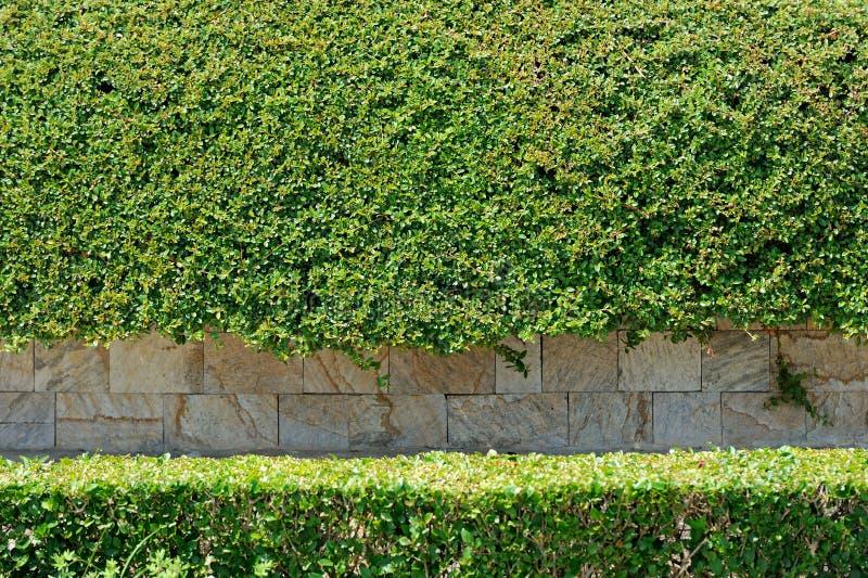 Fundo da parede das folhas com pedra foto de stock