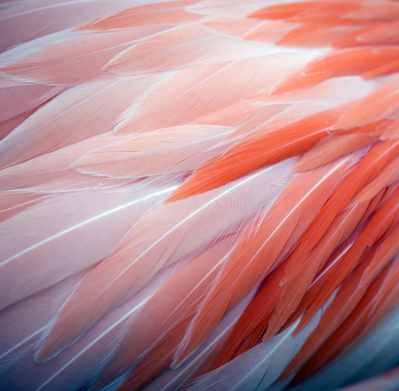Fundo da pena do flamingo fotografia de stock royalty free