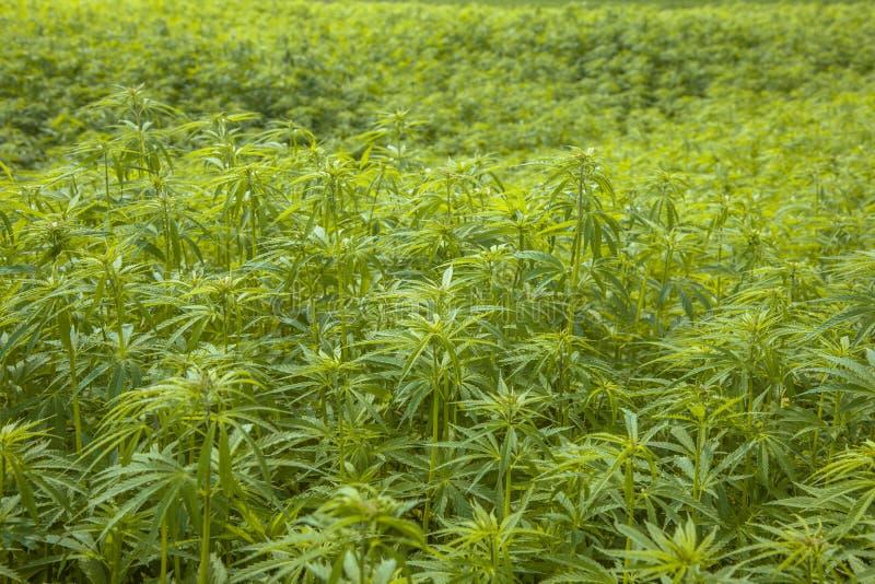 Fundo da plantação de marijuana fotografia de stock