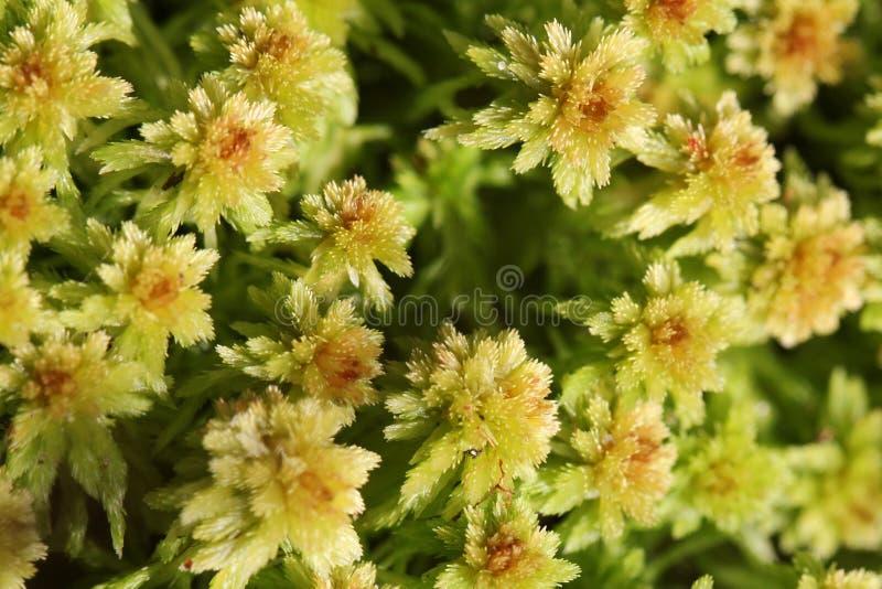 Fundo da planta do musgo de Sphagnum imagens de stock royalty free