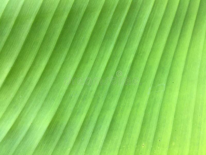 Fundo da textura da folha da banana do close-up foto de stock royalty free