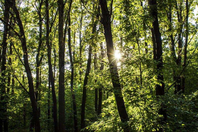 Fundo das árvores de floresta das madeiras Paisagem verde da natureza wilderness foto de stock royalty free