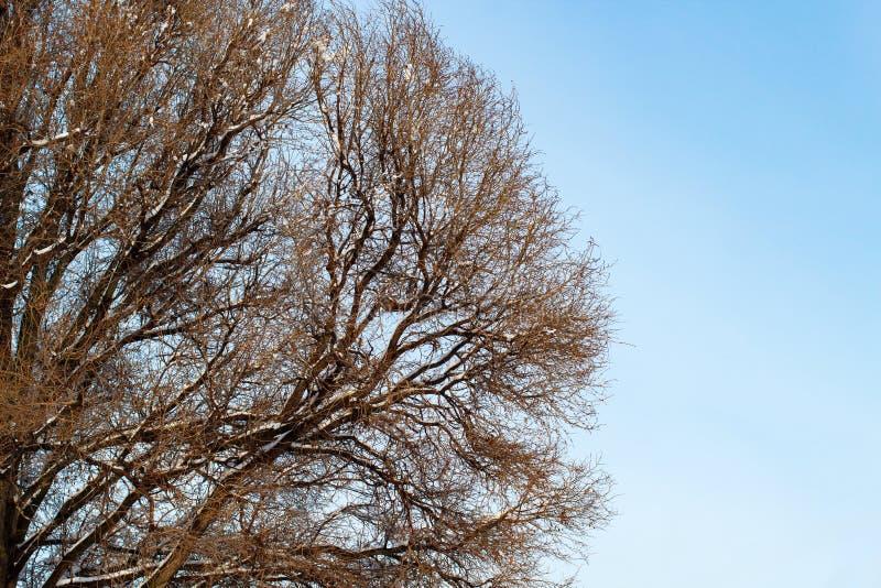 Fundo das árvores para uma exposição dobro, árvores contra o céu, ramos em um fundo azul homogêneo, muitos ramos, ramo foto de stock