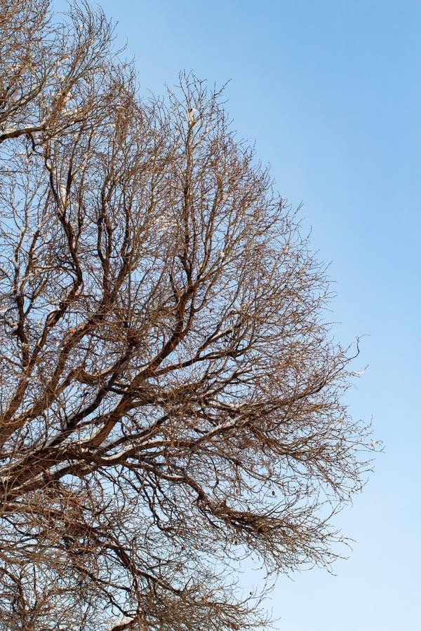 Fundo das árvores para uma exposição dobro, árvores contra o céu, ramos em um fundo azul homogêneo, muitos ramos, ramo imagens de stock