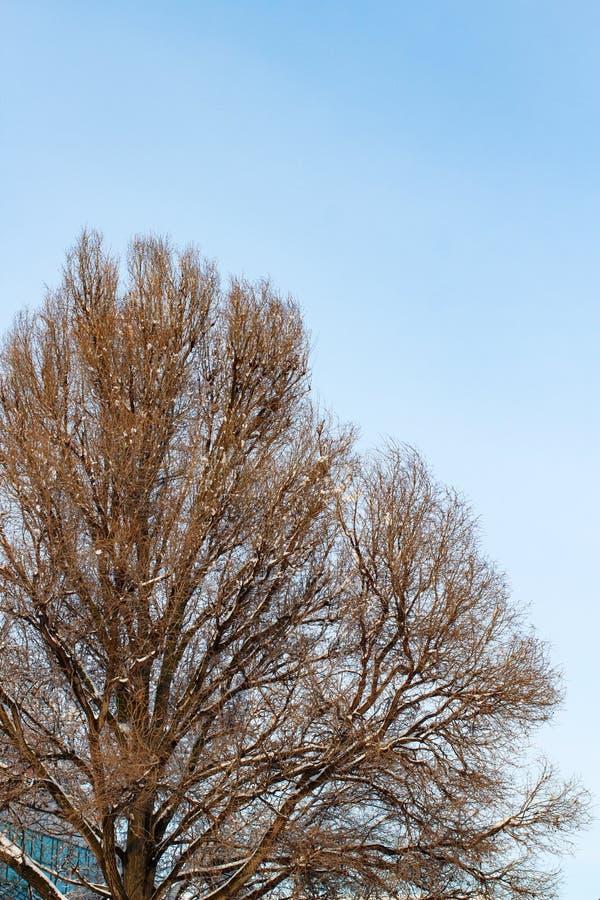 Fundo das árvores para uma exposição dobro, árvores contra o céu, ramos em um fundo azul homogêneo, muitos ramos, ramo fotos de stock