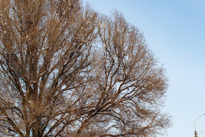 Fundo das árvores para uma exposição dobro, árvores contra o céu, ramos em um fundo azul homogêneo, muitos ramos, ramo imagens de stock royalty free