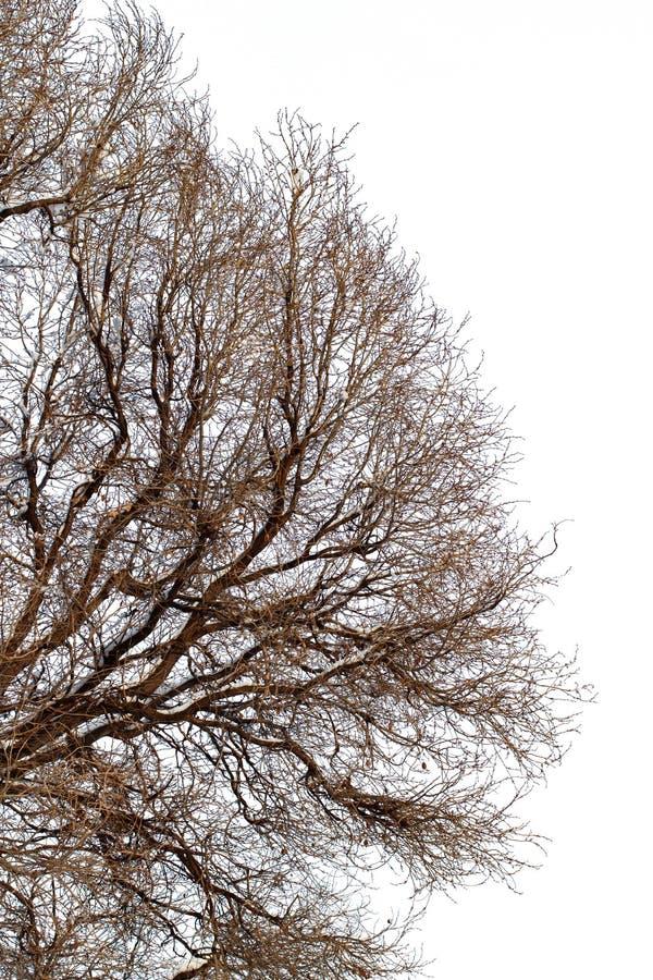 fundo das árvores para uma exposição dobro, árvores isoladas no fundo branco, ramos em um fundo azul homogêneo imagens de stock