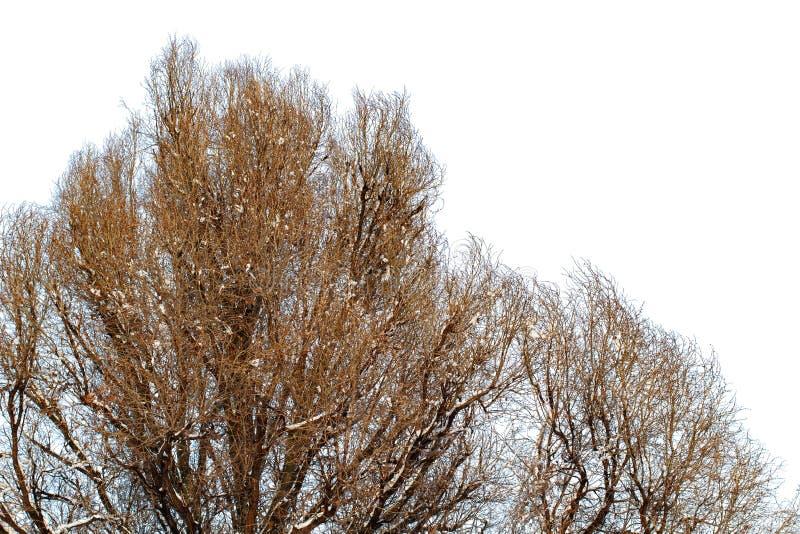 Fundo das árvores para uma exposição dobro, árvores isoladas no fundo branco, ramos em um fundo azul homogêneo, muito sutiã fotografia de stock