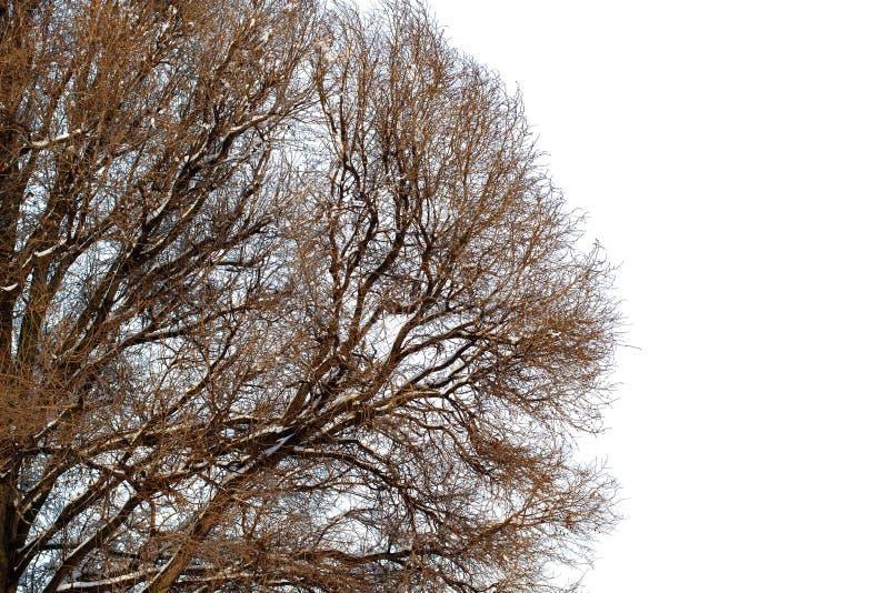 Fundo das árvores para uma exposição dobro, árvores no fundo branco, ramos em um fundo azul homogêneo, muito sutiã fotos de stock