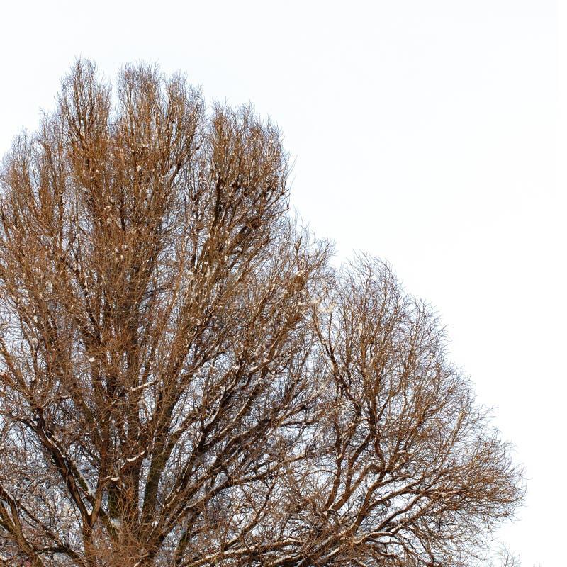 Fundo das árvores para uma exposição dobro, árvores no fundo branco, ramos em um fundo azul homogêneo, muito sutiã foto de stock