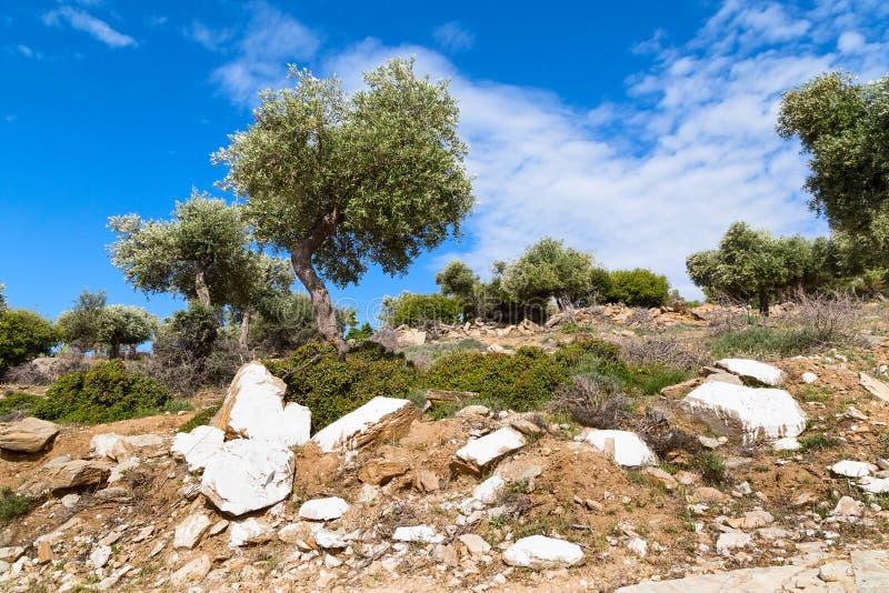 Fundo das férias de verão com ilha grega Thassos, oliveiras, céu nebuloso azul, Grécia imagem de stock royalty free