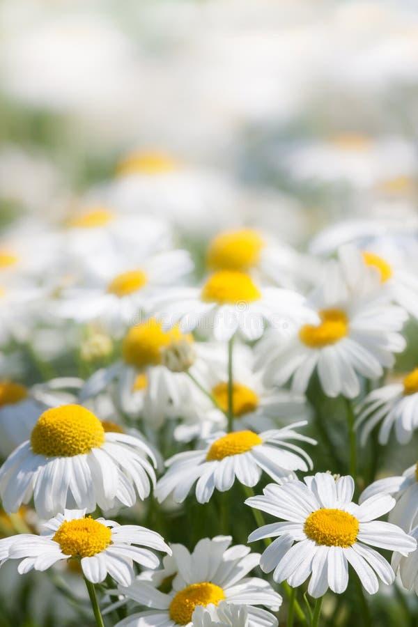 Fundo das flores brancas fotografia de stock