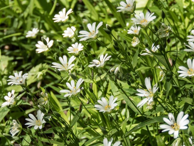 Fundo das flores brancas brancas em um prado verde foto de stock