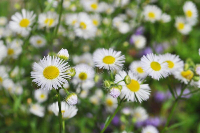 Fundo das flores Cris?ntemos brancos fotos de stock