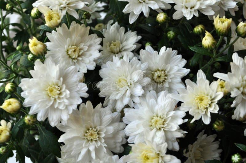 Fundo das flores Cris?ntemos brancos fotos de stock royalty free