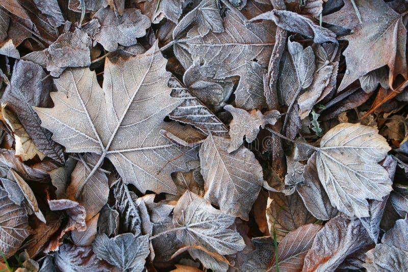 Fundo das folhas congeladas fotografia de stock royalty free