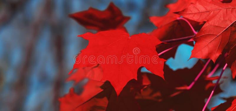 Fundo das folhas de bordo do dia de Canadá Folhas de plátano vermelhas Folha vermelha de queda para Canadá dia o 1º de julho Folh imagens de stock