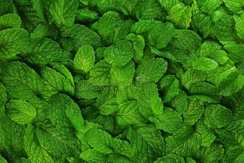 Fundo das folhas de hortelã. foto de stock royalty free