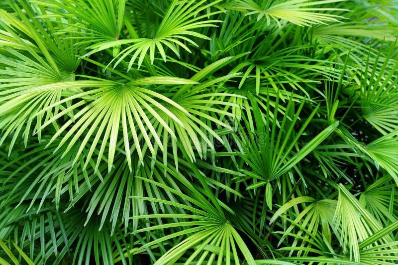 Fundo das folhas de palmeira imagem de stock