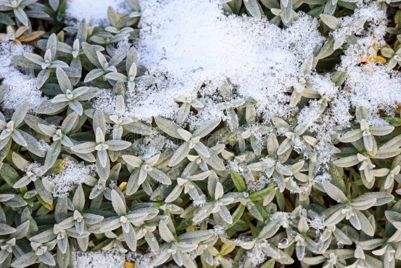 Fundo das folhas do verde cobertas com a neve imagem de stock