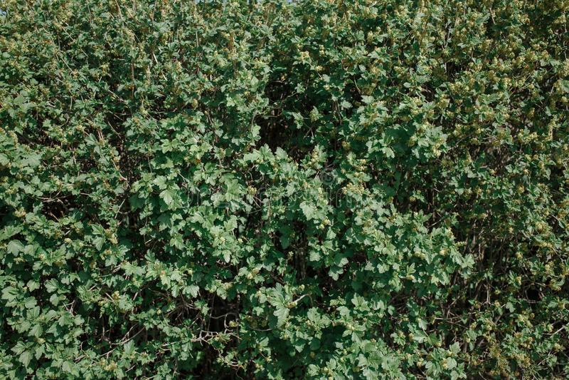 Fundo das folhas verdes da mola imagens de stock