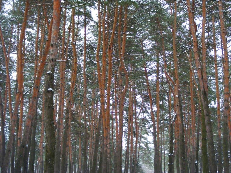 Fundo das madeiras da natureza da floresta do inverno, árvores na neve imagens de stock