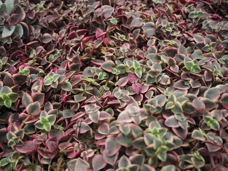 Fundo das plantas decorativas fotografia de stock royalty free