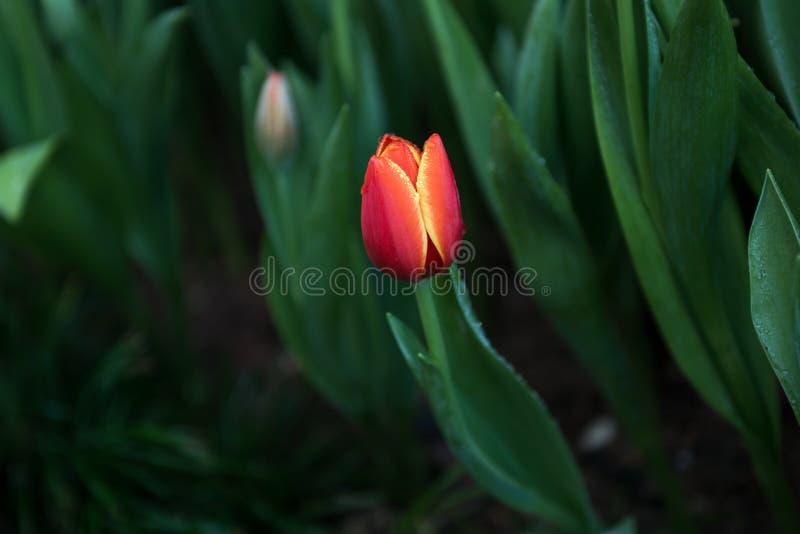 Fundo das tulipas da flor Opinião bonita tulipas da cor foto de stock royalty free