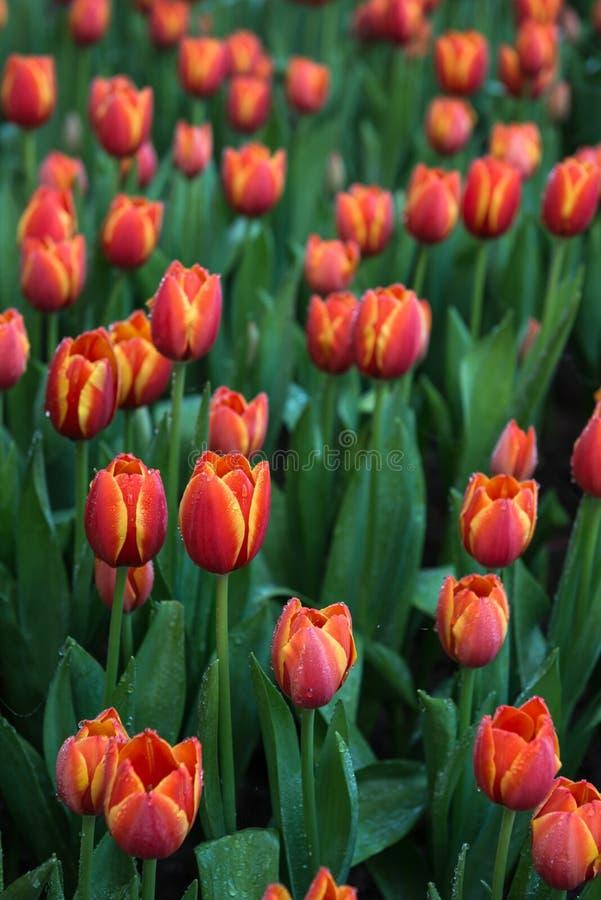Fundo das tulipas da flor Opinião bonita tulipas da cor imagens de stock