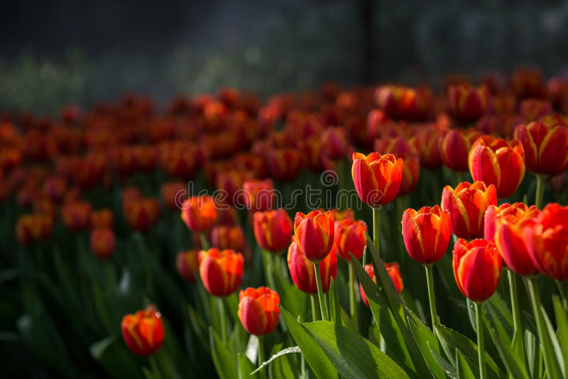 Fundo das tulipas da flor Opinião bonita tulipas da cor fotos de stock royalty free