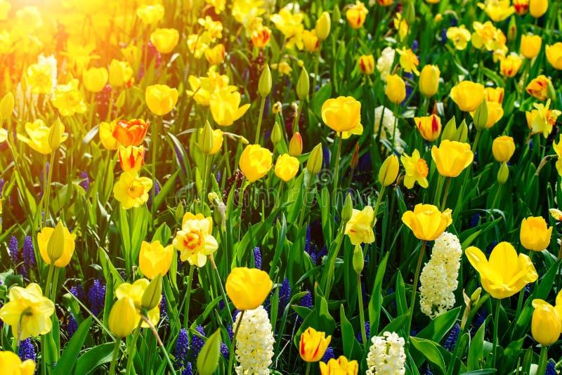 Fundo das tulipas da flor Vista surpreendente de bonito fresco brilhante fotos de stock