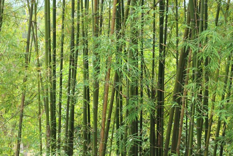 Download Fundo De árvores De Bambu Verdes Foto de Stock - Imagem de botanical, calma: 29847384