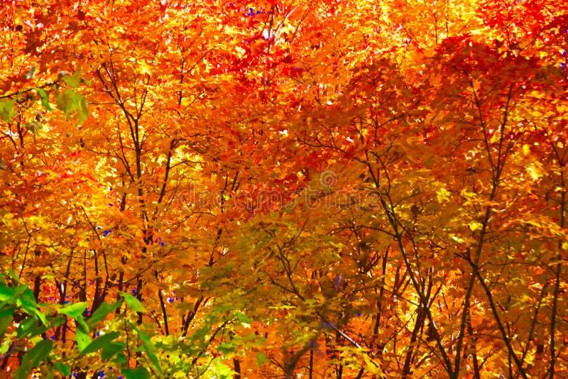 Fundo de Autumn Maple e do carvalho fotografia de stock royalty free