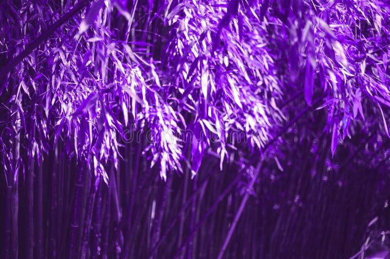 Fundo de bambu ultravioleta escuro brilhante da floresta foto de stock royalty free