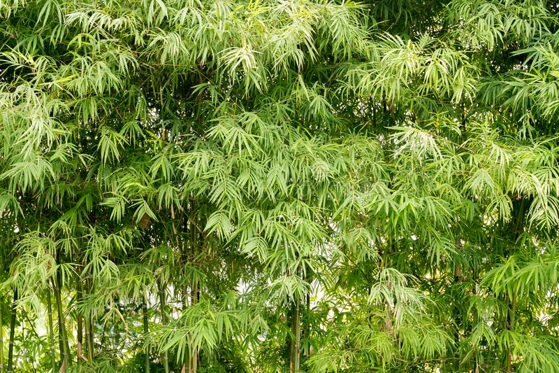 Fundo de bambu verde natural da paisagem da floresta fotografia de stock