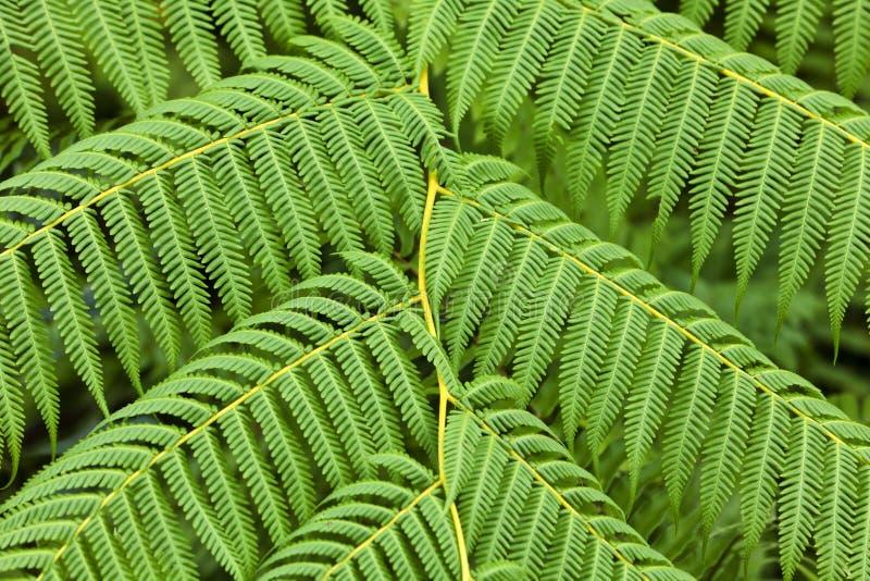 Fundo de Fern Leaves do gigante imagem de stock royalty free
