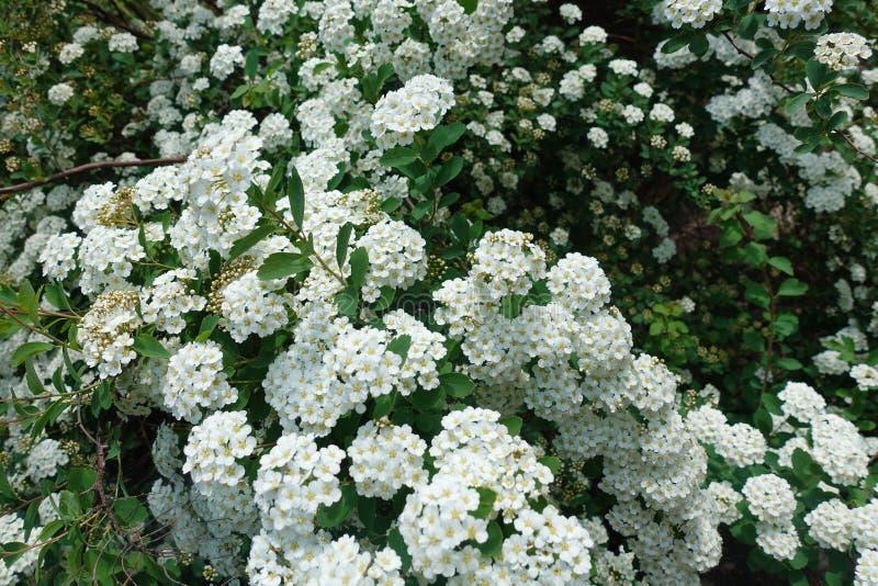 Fundo de flores brancas pequenas Bush de flores brancas pequenas fotografia de stock