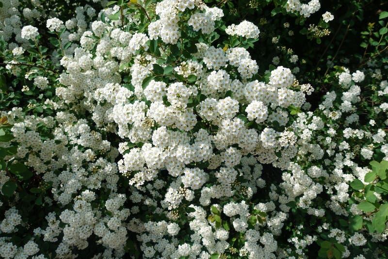 Fundo de flores brancas pequenas Bush de flores brancas pequenas imagem de stock