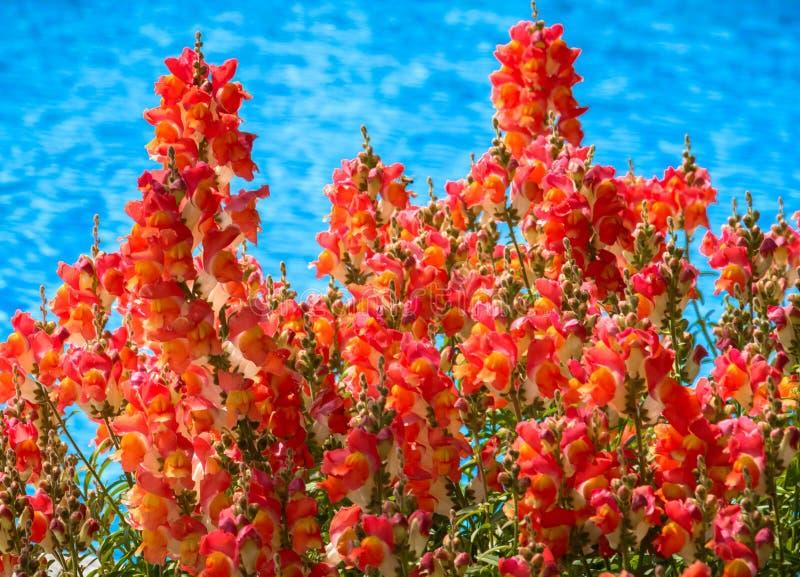 Fundo de flores vermelhas imagem de stock royalty free