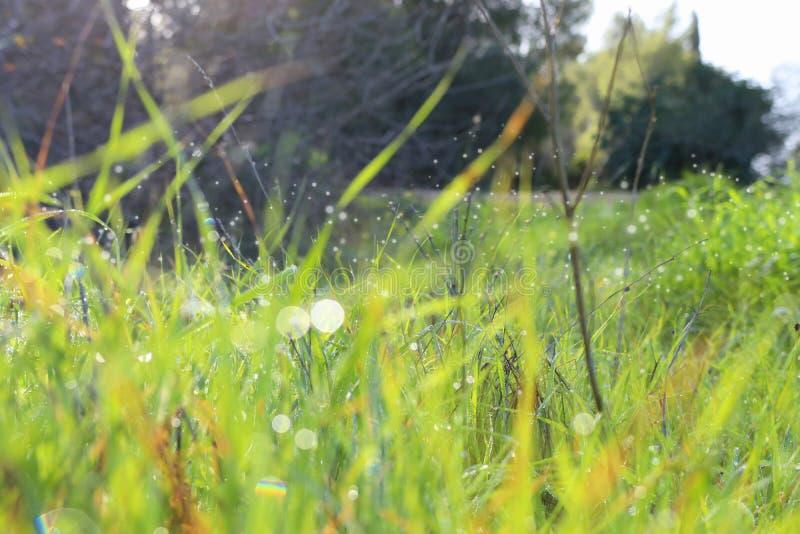 Fundo de gotas de orvalho da manhã na grama verde-clara da mola Foco seletivo fotografia de stock royalty free